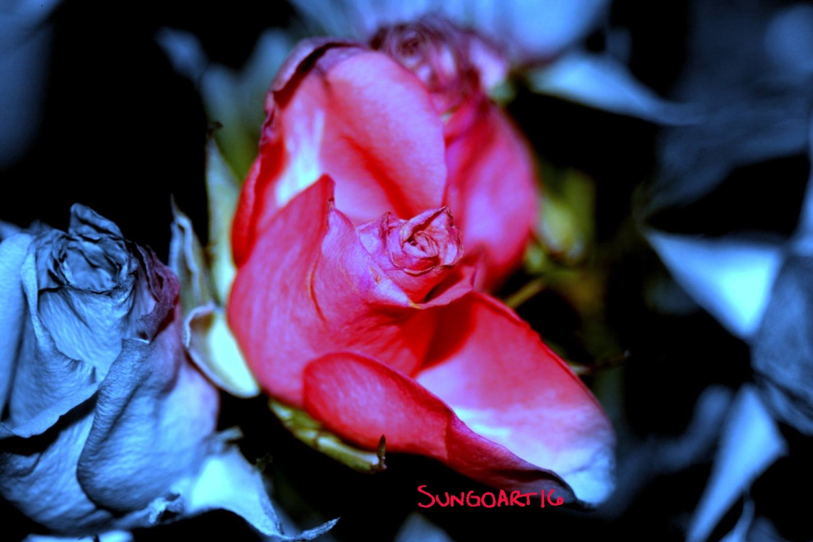 Rose1 Kopie